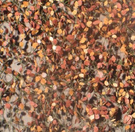 Silhouette Beukenloof - Late herfst - ca. 15x4cm - 0-1 (1:45+) - (920-34S)